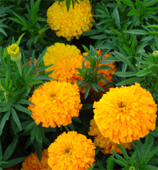 medicinal benefit of marigold flower