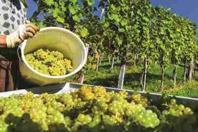 valtické vinobraní