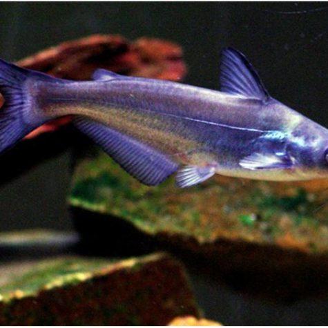 freshwater catfishes archives arizona