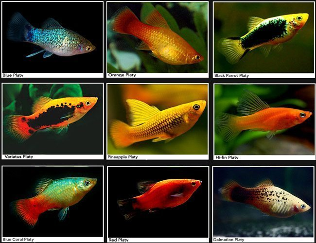Image result for platy fish