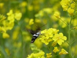 Kolibrie-vlinder-ding bij mooie gele bloempjes. La Torre