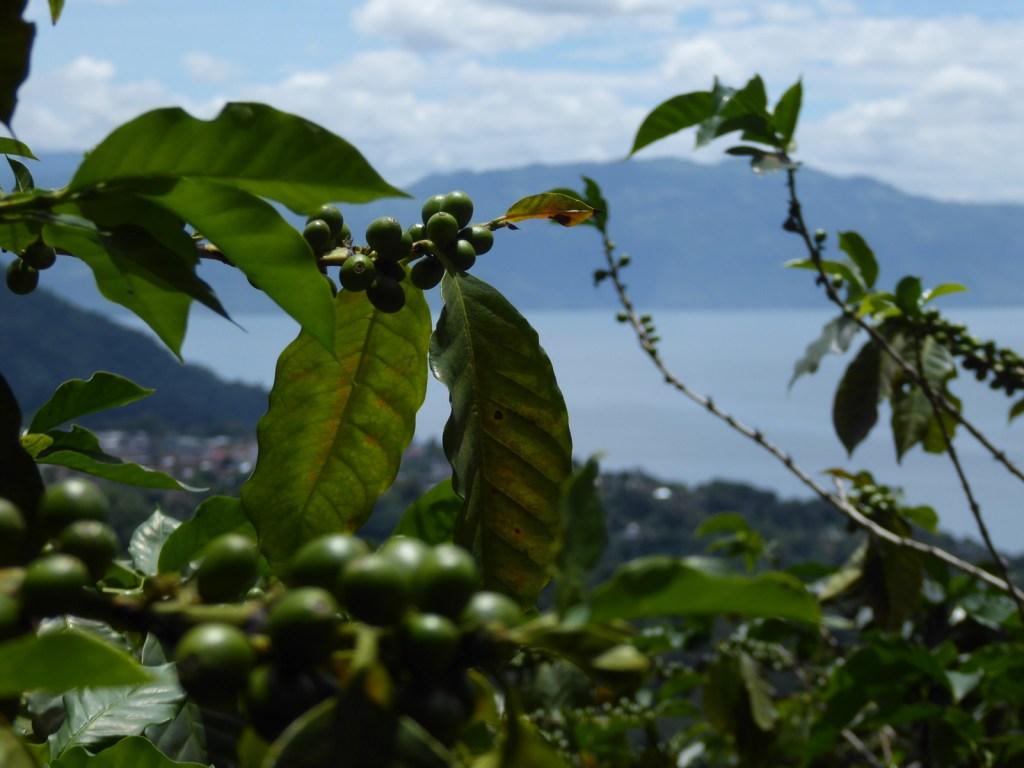 Koffie! In de maak. Lago Atitlán