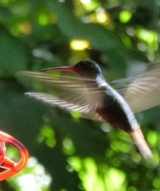 Overactieve kolibrie. Los Naranjos