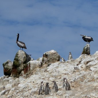 Vergeleken met de pelikanen zijn ze maar dreumussen. Islas Ballestas, Paracas