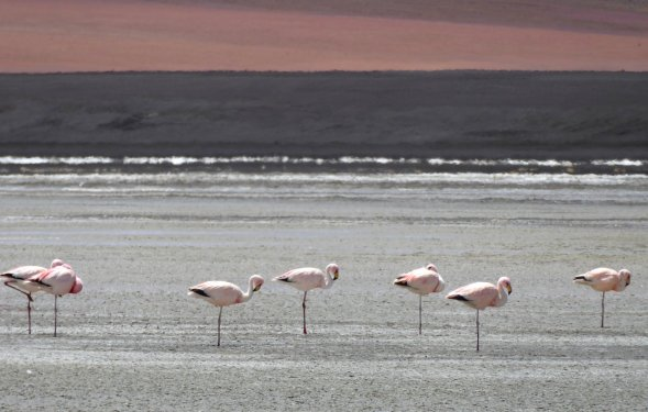 Eenbenige flamingo's. Zuid Bolivia road trip