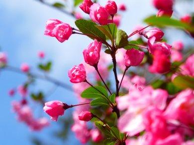 Lekker roze. Alishan NP