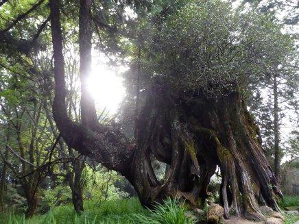 De 2e generatie boom gaat gewoon verder op de 1e generatie. Alishan NP