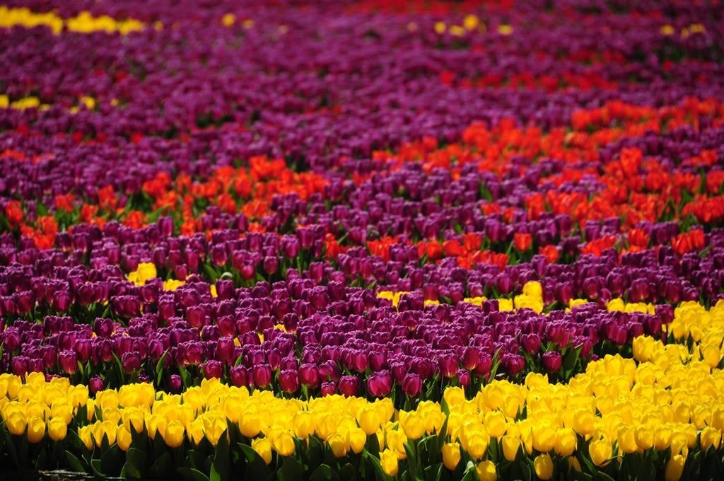 Tulipán fesztivál Isztambulban
