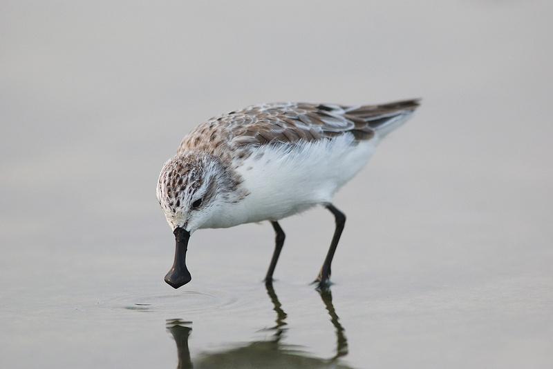 SPEA celebra dia mundial das aves migradoras no Corvo e São Miguel