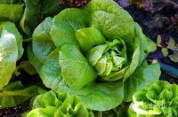 Low Desert Winter Vegetable Garden Archives - Ramblings ...