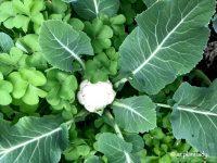 Winter Vegetable Garden - Ramblings from a Desert Garden