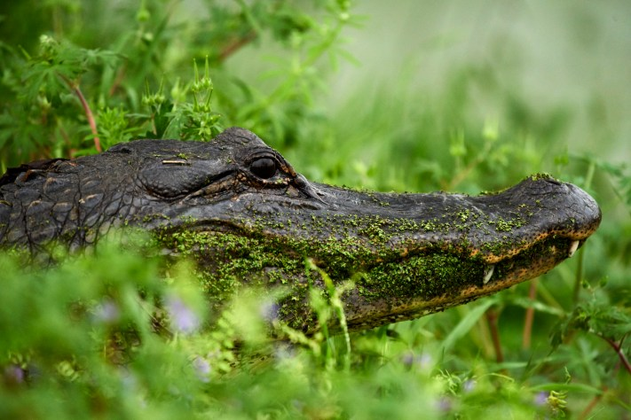 American Alligator - Brazos Bend State Park - Learn Wildlife Photography
