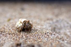 Hermit Crab crawling along the beach.