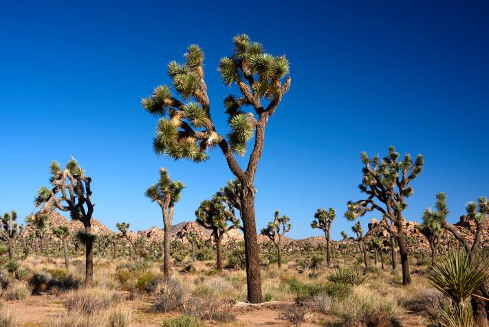 Joshua Tree National Park - A stand of joshua trees.