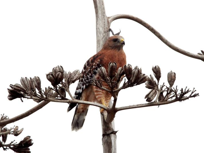 Why isn't my photo in focus? A hawk on an agave spire with the spire in focus.