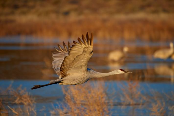A tact sharp photo of a sandhill crane flying in dawn light.