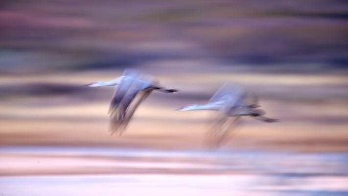 Two sandhill cranes at flight in front of a multicolored background at Bosque del Apache in New Mexico.