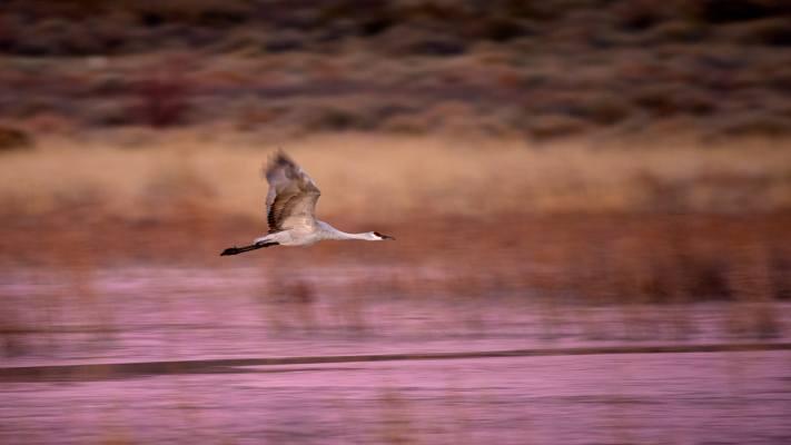 A semi-sharp panning photo of a sandhill crane in flight.