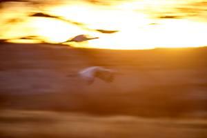 Throwaway slow shutter speed photos of sandhill cranes in flight.
