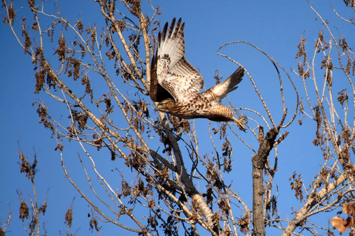 A juvenile red shoulder hawk leaps from a tree branch.