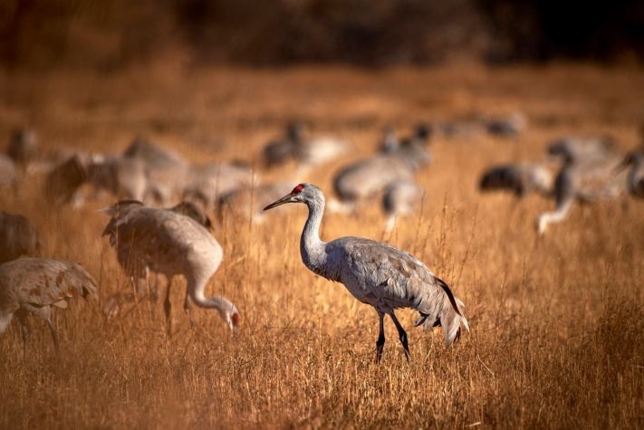 A flock of sandhill cranes forages for insects among the corn stubble.