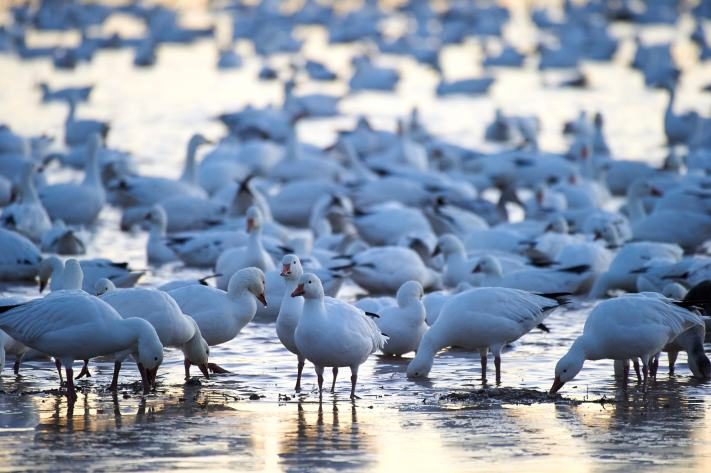 A large flock of snow geese gather and settle in a field around sunset.