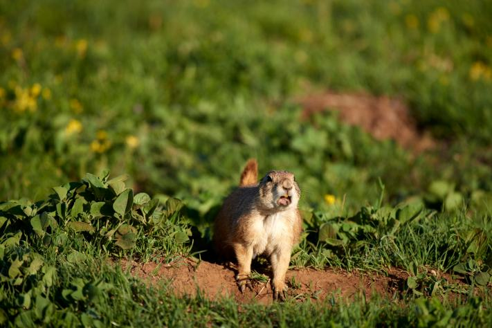 A ground hog alerts the colony of an invader (my) at Caprock Canyon State Park in North Texas.