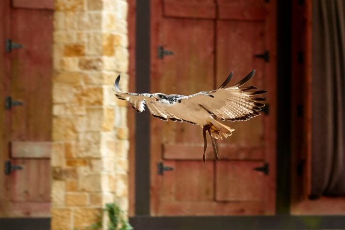 A falcon flies during a falconry demonstration. - Birds in Flight - Falconry Photography Experience