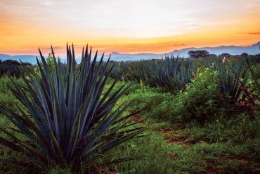 Mezcal and Tequila Introduction