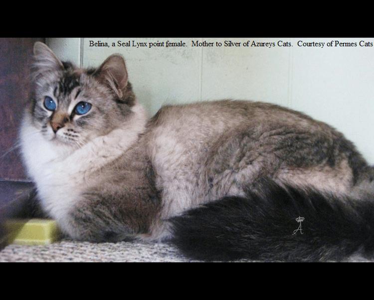 Azureys Cats Balinese Lynx Information