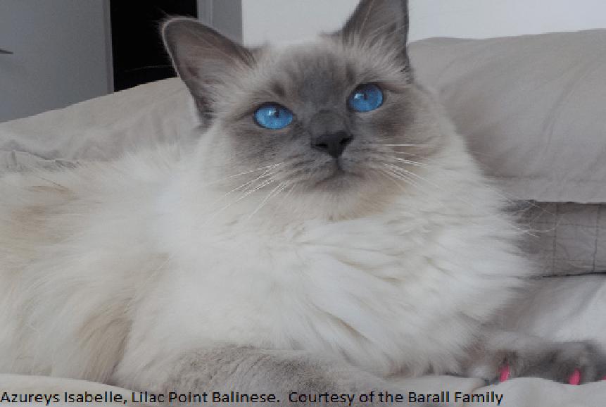 Azureys Cats  Balinese Information