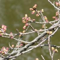 岡崎公園の桜開花情報(2020年3月15日)