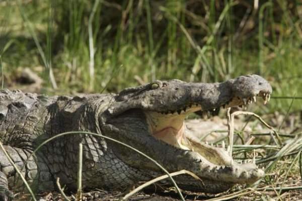 Crocodile Kills Baptising Pastor in Ethiopia
