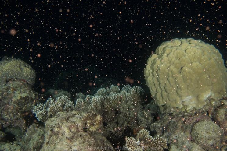 Ponte des coraux durs