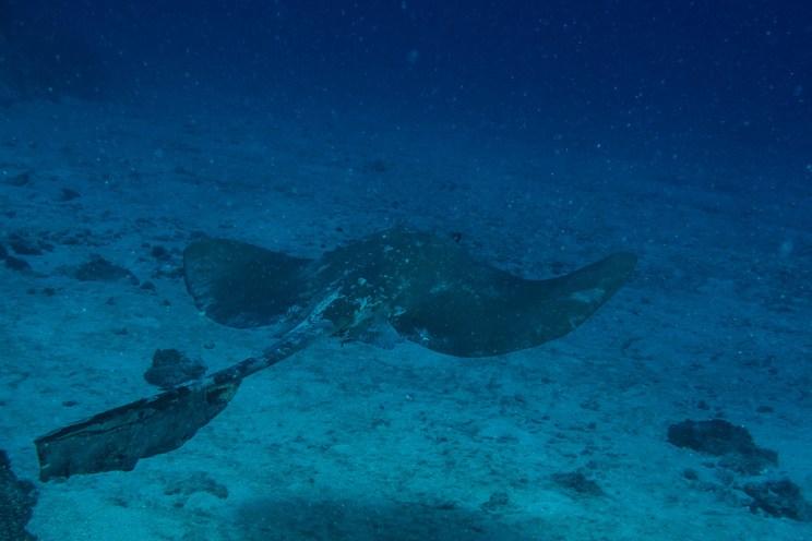 Raie Eventail - Pastinachus sephen - Hienghene, Nouvelle Caledonie - Babou Cote Ocean