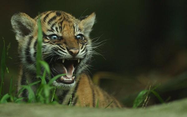 Cute Tiger Cubs Wallpapers Sumatran Tiger Cubs Baby Animal Zoo