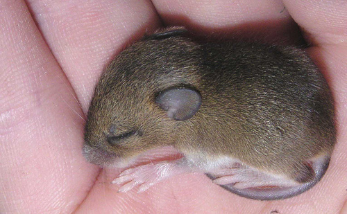 baby mouse in hand
