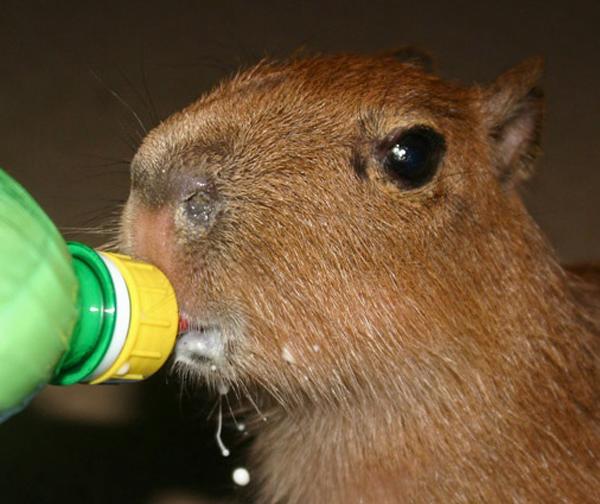 Cute Puppies Images Wallpapers Capybara Baby Baby Animal Zoo
