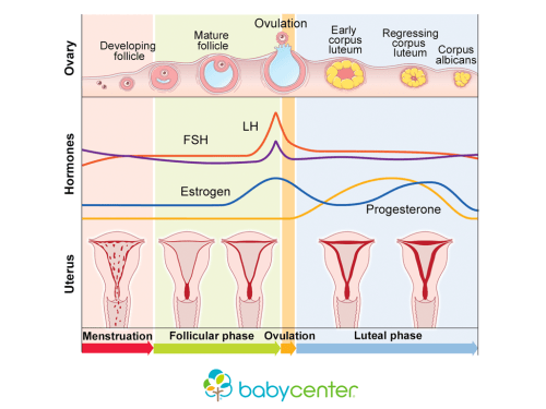 small resolution of how your menstrual cycle works