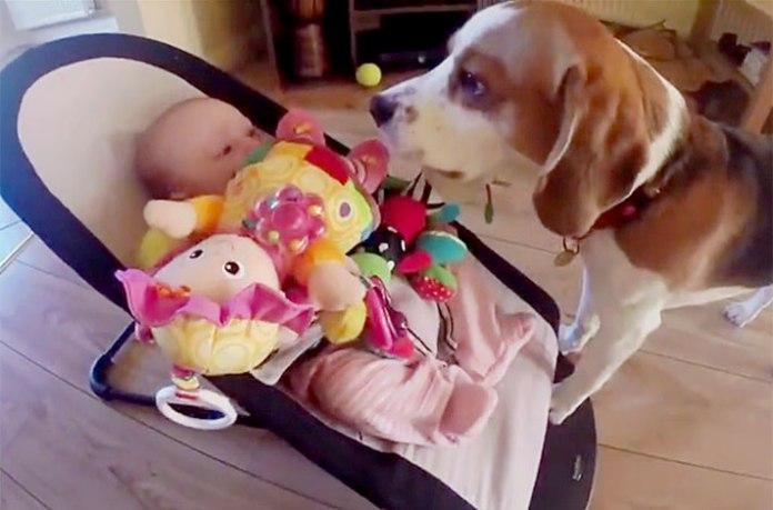 10 razze di cani per bambini piccoli e neonati - beagle