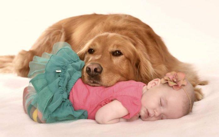 10 razze di cani per bambini piccoli e neonati - golden retriever