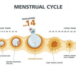 Menstrual Cycle Diagram With Ovulation Amana Refrigerator Wiring The Big O What Is It And Why S Important Babymed Com