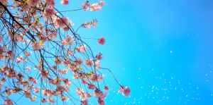 blossoms on trees against a blue sky