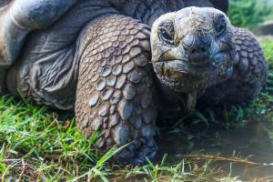 sea turtle in the Galapagos