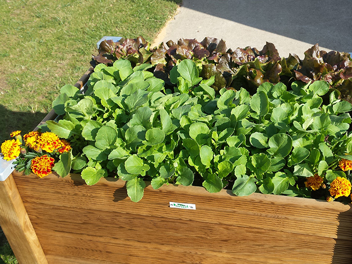 Plantation Radis, Salade, Œillet d'inde, Bac à plantes