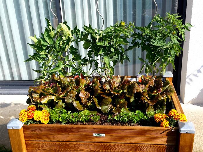 Plantations Radis, Salades, Tomates dans un Bac à plantes
