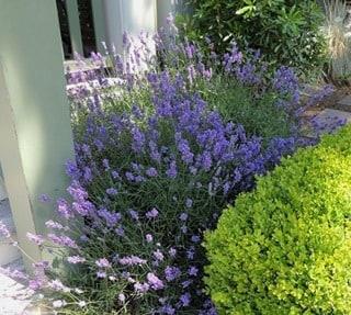 Lavender_RH