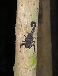 Un scorpion devant nous en Amazonie