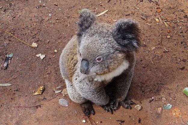 Itinéraire entre Mackay et Sydney : Chercher les Koalas de Gunnedah