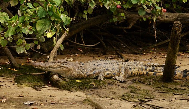Les crocodiles de Daintree River